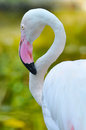 Greater flamingo the is the most widespread species of the family it is found in parts of africa southern asia and Royalty Free Stock Image