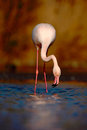 Greater Flamingo, Phoenicopterus ruber, Nice pink big bird, head in the water, animal in the nature habitat, drinking water, Italy Royalty Free Stock Photo