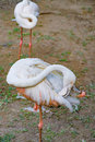 Greater flamingo preening its feathers Royalty Free Stock Photo