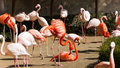 Greater flamingoes phoenicopteridae phoenicopterus at a zoo Royalty Free Stock Photography