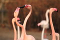 Greater flamingos the detail of Royalty Free Stock Photography