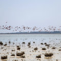 Greater Flamingos in flight over Salt Lake in Cyprus Royalty Free Stock Photo