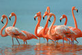 Greater flamingos flock of phoenicopterus roseus in mexico Stock Images