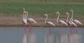 Greater flamingos at river bank looking for fish Royalty Free Stock Photo