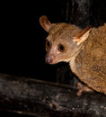 Greater Galago Stock Photography