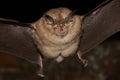 Greater horseshoe bat flight Royalty Free Stock Photo