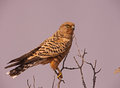 Greater Kestrel Falco rupicoloides Royalty Free Stock Photo