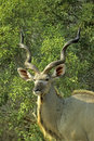 Greater kudu Stock Photo