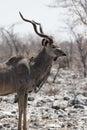 Greater Kudu Stock Photo