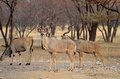 Greater Kudu bull Stock Image
