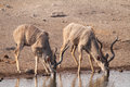 Greater kudu males drinking etosha national park namibia africa Stock Photos