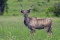 Greater kudu tragelaphus strepsiceros bull in kruger national park south africa Stock Photo