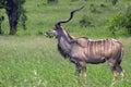 Greater kudu tragelaphus strepsiceros bull in kruger national park south africa Stock Image