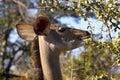 Greater kudu tragelaphus strepsiceros female feeding in kruger national park south africa Stock Photography