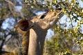 Greater kudu tragelaphus strepsiceros female feeding in kruger national park south africa Stock Photo