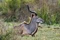 Greater kudu tragelaphus strepsiceros in kruger national park south africa Stock Photos