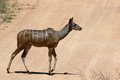 Greater kudu tragelaphus strepsiceros in kruger national park south africa Royalty Free Stock Images