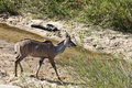 GREATER KUDU WALKING Stock Images