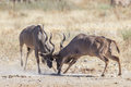 Greater kudus Royalty Free Stock Image