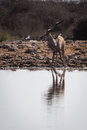 Greater male kudu being surprised at waterhole and looking up for potential attacker reflection in the water etosha national park Royalty Free Stock Images