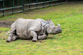 Greater one horned rhino laying on the ground Stock Images