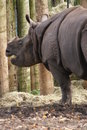 Greater one horned rhinoceros rhinoceros unicornis indian rhino Stock Image
