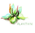 Greater plantain original watercolor illustration Stock Photos