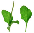 Greater Plantain (Plantago major or Royalty Free Stock Photos