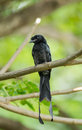 Greater racket tailed close up of drongo dicrurus paradiseus in nature Stock Image