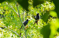 Greater racket tailed drongo dicrurus paradiseus black birds perch on a tree was sunbathing with its mate after water play Royalty Free Stock Image