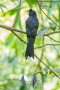 Greater racket tailed drongo full body of in nature Royalty Free Stock Image