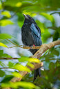 Greater racket tailed drongo in kk open zoo thailand Royalty Free Stock Images