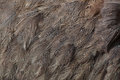 Greater rhea Rhea americana. Plumage texture. Royalty Free Stock Photo