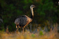 Greater Rhea, Rhea americana, Big bird with fluffy feathers, animal in the nature habitat, evening sun, Brazil Royalty Free Stock Photo