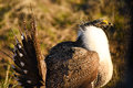 Greater Sage Grouse In Morning Light Royalty Free Stock Photo
