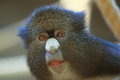 Greater spot-nosed monkey Royalty Free Stock Image