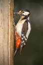 Greater spotted woodpecker with beak full of insects female for the chicks Stock Image