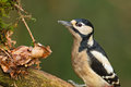 Greater spotted woodpecker on a branch Royalty Free Stock Photos