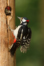 Greater spotted woodpecker feeding chick Royalty Free Stock Photos