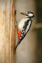 Greater spotted woodpecker food chicks outside nest hole Royalty Free Stock Photography