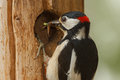 Greater spotted woodpecker food chicks outside nest hole Stock Photo