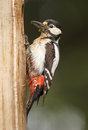 Greater spotted woodpecker returns to nest with food female for chicks outside hole Royalty Free Stock Photo