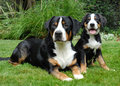 Greater Swiss Mountain Dog, adult and puppy Royalty Free Stock Photo