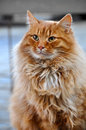 Greatest red color cat Royalty Free Stock Photo