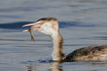 Great Crested Grebe - Podiceps cristatus swallowing a fish. Royalty Free Stock Photo