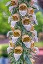 Grecian Foxglove Royalty Free Stock Photo