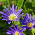 Grecian windflower Royalty Free Stock Photo