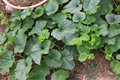 Gree vine cucumber the beautiful Stock Photos