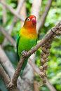 Gree yellow and red lovebird perched on a tree branch Royalty Free Stock Photo