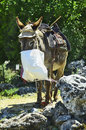 Greece, Crete, donkey Royalty Free Stock Photo